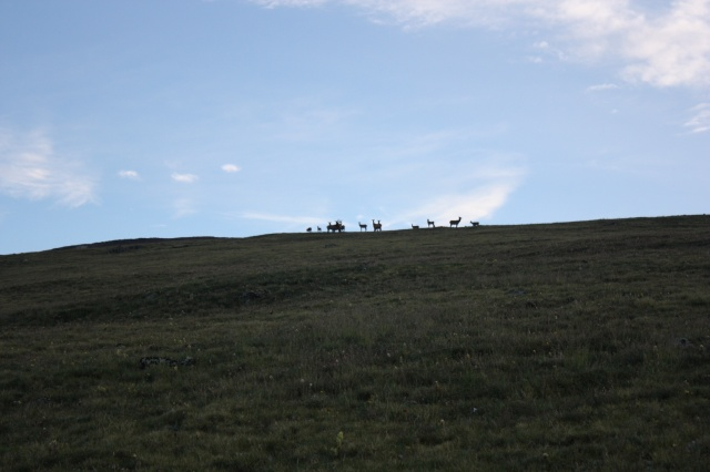 A herd of Elk.