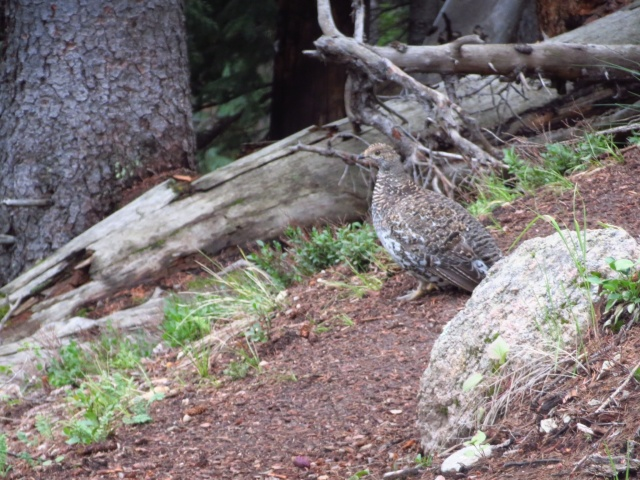 One of the many delicious looking birds we occasionally see in the mountains.
