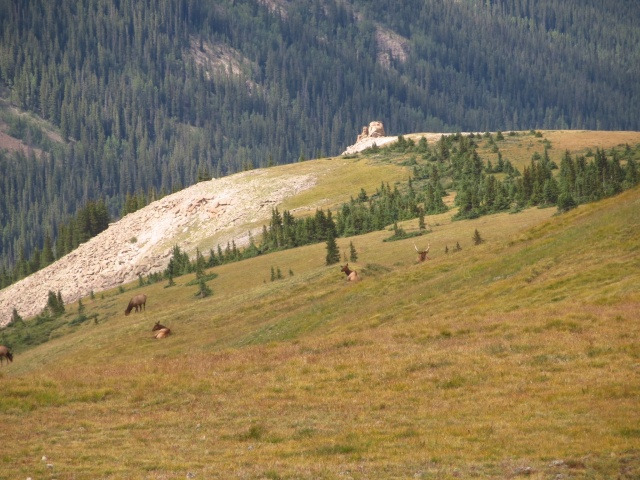 A herd of elk on e broad ridge we took north from Uncompahgre.