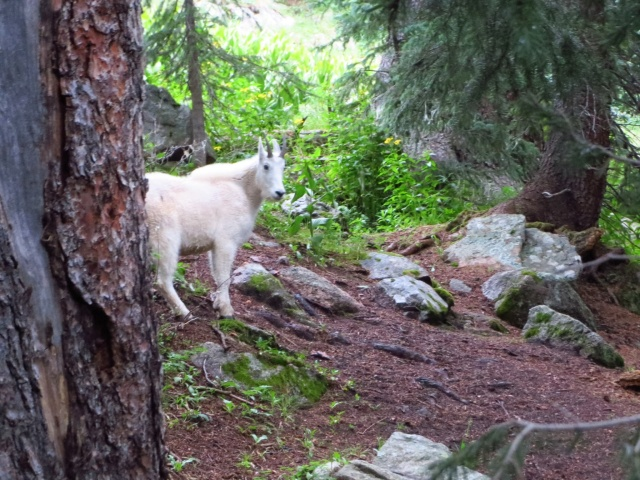 A very friendly mountain goat.