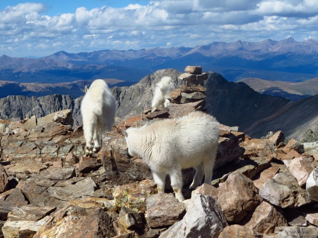 Mountain goats on the Quandary summit.