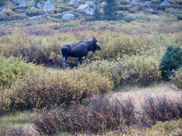 A moose in Chihuahua Gulch below Torrey's Peak.
